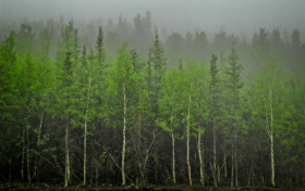 White spruce forest, Denali State Park, Alaska.