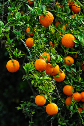 Oranges - Huntington Library - Pasadena, CA