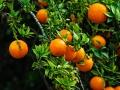Oranges - Huntington Library - Pasadena, CA
