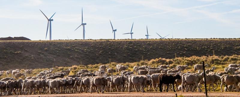 Wyoming: Shorn Sheep & Windmills