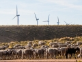 Wyoming: Shorn Sheep & Windmills