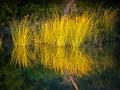 Reeds: Sacramento River