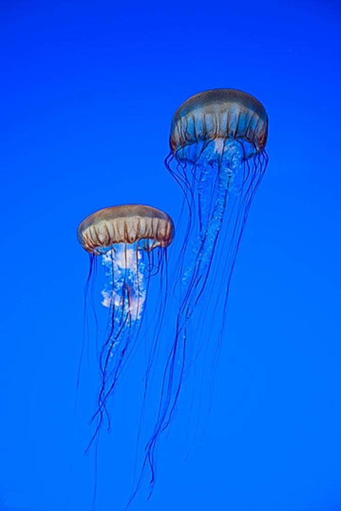 Jelly Fish - Monterey Aquarium