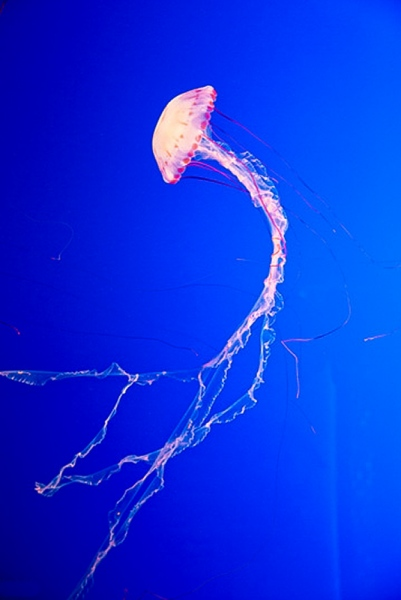 Jelly Fish - Monterey Aquarium