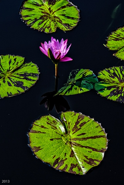 Lily - Chicago Botanical Garden