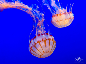 July 27:  Jellyfish, Monterey Bay Aquarium