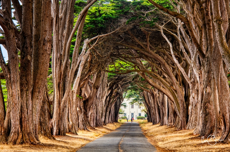 Nov 8: Cypress Tunnel, Point Reyes National Seashore