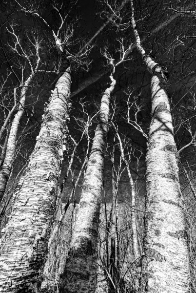 Mar 28: Birches, Blue Mound State Park