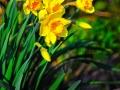 Daffodils_070313_0252