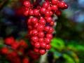 Berries_070313_D20264