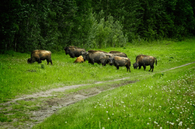 Hungry bison along the Alaska highway