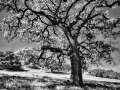 Black_White_Oak_3.jpg