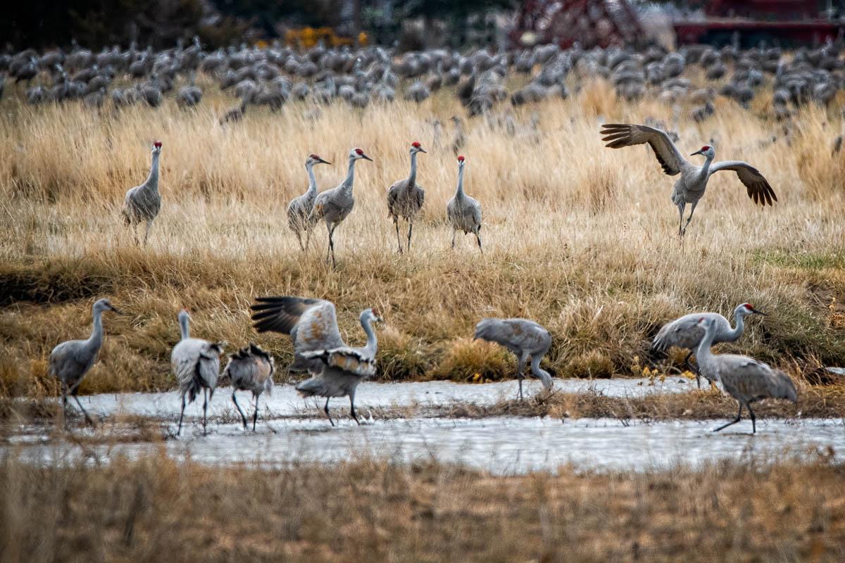Cranes_2021-4625