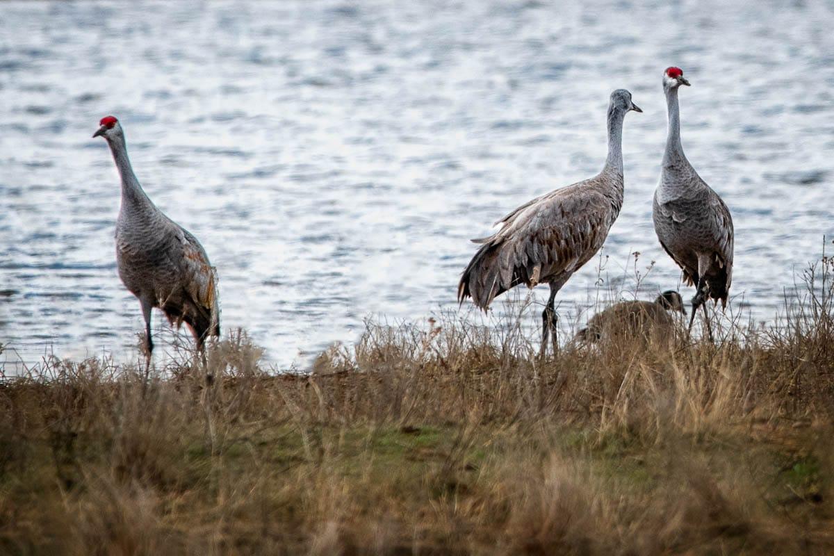 Cranes_2021-4654