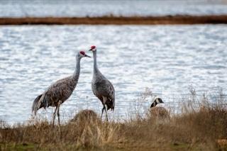 Cranes_2021-4653