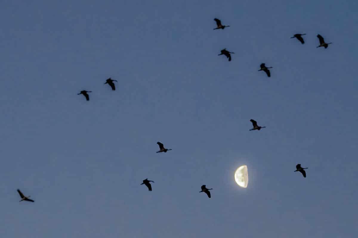 Cranes&Moon-4684
