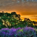 Spring Sunrise: Lavender, Oaks