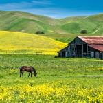 Poppies, Mustard, & Horses