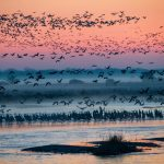 Sand Hill Cranes: March 2021
